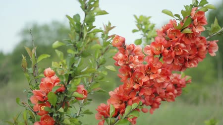 pigwa : Japanese quince Bush with flowers standing in the field and swaying in the wind. Its spring Wideo