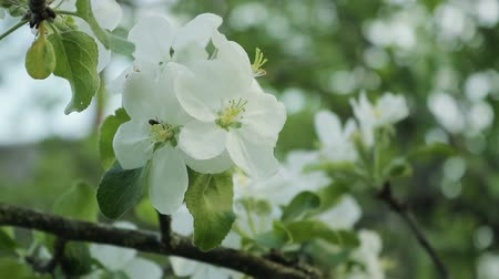 обновление : Branches with flowers of Apple trees swaying in the wind. Close up