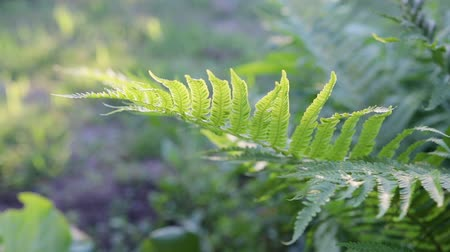 inculto : A leaf of green forest fern sways in the wind. Close up