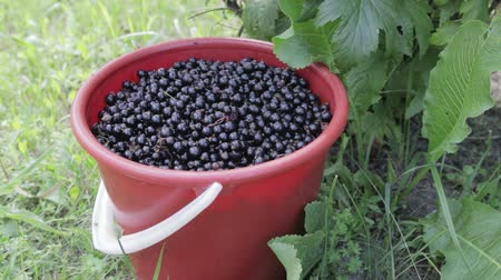 смородина : A red bucket filled to the top with black currant stands on the grass, under a bush of black currant. Close up. Harvest