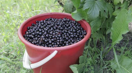 full bucket : A red bucket filled to the top with black currant stands on the grass, under a bush of black currant. Close up. Harvest