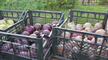 resultado : Edible, red and white onions is in a plastic crates, the onion harvest, close-up