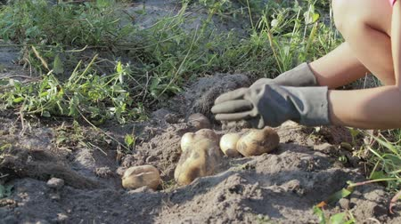 feltörés : The hands of a farmer in black gloves harvested from the soil tuber a potatoe, close-up
