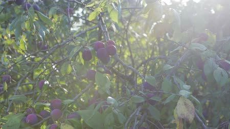 stone fruit : The harvest of plums, branch with ripe, juicy plums hanging. Through the foliage plays with the sunlight.Close up