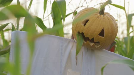 zvedák : The celebration of Halloween. A Scarecrow with a Jack lantern instead of a head standing in a field of corn. In the mouth of a pumpkin sticking out of a green leaf