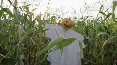 haloween : The celebration of Halloween. A Scarecrow with a Jack lantern instead of a head standing in a field of corn. In the mouth of a pumpkin sticking out of a green leaf. Steadicam shot