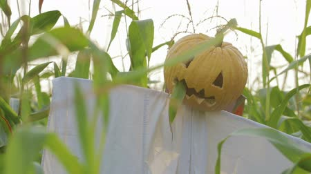 lenda : The celebration of Halloween. A Scarecrow with a Jack lantern instead of a head standing in a field of corn. In the mouth of a pumpkin sticking out of a green leaf