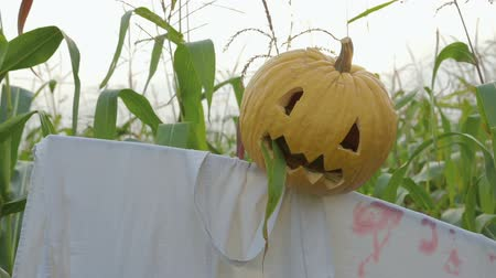 mito : The celebration of Halloween. Garden Scarecrow with Jacks lantern instead of the head and the bloody inscription Halloween is on the corn field. Steadicam shot
