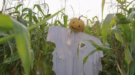 lenda : The celebration of Halloween. A Scarecrow with a Jack lantern instead of a head standing in a field of corn. In the mouth of a pumpkin sticking out of a green leaf. Steadicam shot