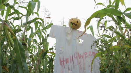 dread : The celebration of Halloween. Garden Scarecrow with Jacks lantern instead of the head and the bloody inscription Halloween is on the corn field. Steadicam shot