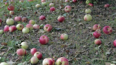 çürümüş : Harvest late autumn apples. Red fruits fall from tree branches on the lawn, rot and lose their presentation Stok Video