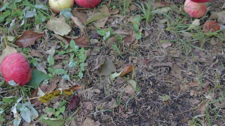 podridão : Harvest late autumn apples. Many red fruits lie on the lawn, rotting and lose their presentation