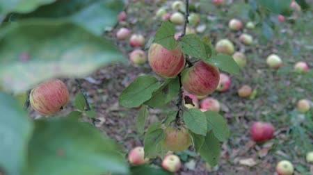 hozam : Harvest late autumn apples. Red fruits fall from tree branches on the lawn, rot and lose their presentation Stock mozgókép