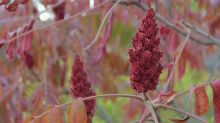 ocet : Flowers and leaves of an acetic tree. Sumac red shade moves from the wind. Close up Wideo