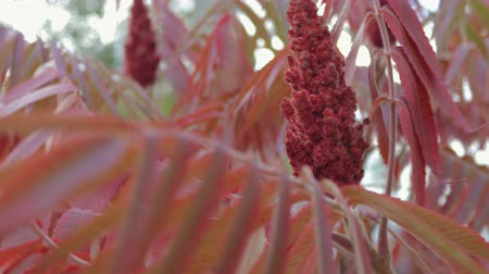 успокаивающий : Flowers and leaves of an acetic tree. Sumac red shade moves from the wind. Close up Стоковые видеозаписи