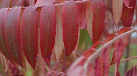 酢 : Flowers and leaves of an acetic tree. Sumac red shade moves from the wind. Close up 動画素材