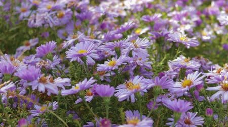 magenta flowers : Flowers perennial Alpine asters. Close up