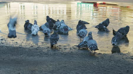 mud bath : A group of city pigeons bathe in a big dirty puddle. Birds are cleaned in water and fly away Stock Footage