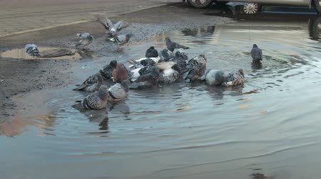 feathered : A group of city pigeons bathe in a big dirty puddle. Birds are cleaned in water and fly away Stock Footage