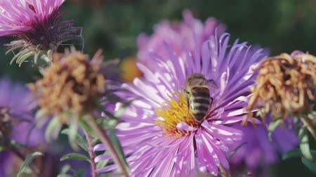 шмель : An adult honeybee collects nectar from a purple flower-Astra. Very important insect, beekeeping. Close up