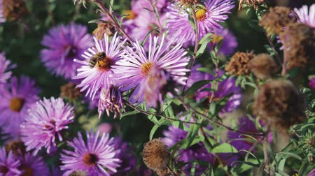 beporzás : Adult, honey bee pollinating purple flower, close-up Stock mozgókép