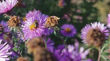 polinização : Adult, honey bee pollinating purple flower, close-up Stock Footage