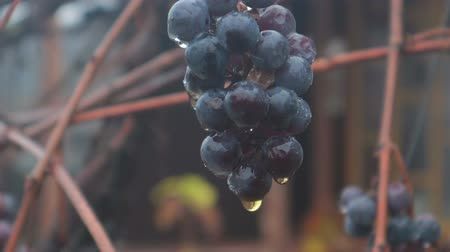 tittle : Raindrops hang on the blue vine grapes with drops of rain water. Close up