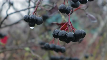 üvez ağacı : Raindrops on berries, clusters of black rowan in late autumn, close-up