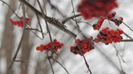 rowanberry : Rowan berries under white snow close-up, frozen Rowan. The concept of winter Stock Footage