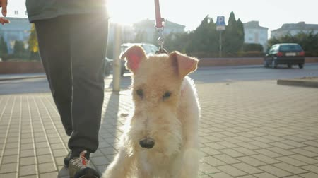 airedale : A young man walks down the street with his attractive dog Terrier on a red leash. The dog playfully runs and jumps. Stedicam slow-motion shot
