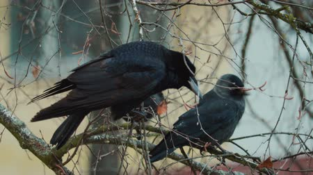 karga : Large, disheveled crows sit on the winter branches of a tree, one crow flew away. The concept of ornithology