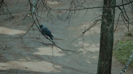 asa : Black crow with white feathers sits on a small tree branch and pecks insects late autumn, bird concept