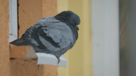 pane : Close-up of a pigeon sitting on a windowsill in winter cold weather on the background of snowflakes. The concept of frozen birds, helping wildlife Stock Footage