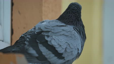 senta : Close-up of a pigeon sitting on a windowsill in winter cold weather on the background of snowflakes. The concept of frozen birds, helping wildlife Stock Footage