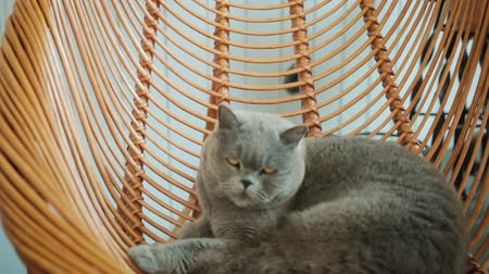 deha : British, Shorthair cat lazily lying on a suspended, wooden chair and slyly looking at the camera