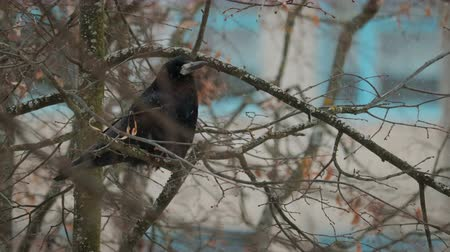 fome : Black adult bird crow pecks white snowflakes sitting on a tree branch with dry leaves. Concept: hungry animal