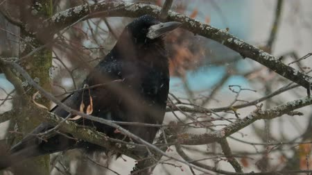 honger : Black adult bird crow pecks white snowflakes sitting on a tree branch with dry leaves. Concept: hungry animal