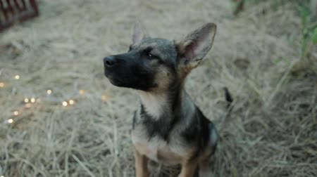 kutya : Close-up of a cute, defenseless dog puppy looking at the camera and wagging its tail