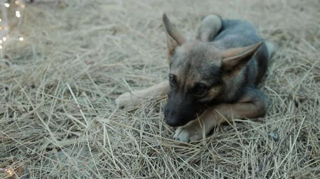 kutya : Close-up of a cute, defenseless, hungry dog puppy lying on the ground and chewing dry grass