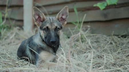 kutyák : Close-up, portrait of a German shepherd puppy. The dog is relaxed and lying on the ground, ears sticking up Stock mozgókép