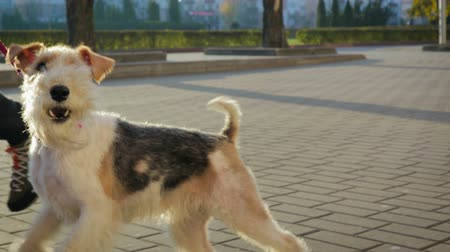 kutyák : Pet, beautiful and joyful dog jumping and running on a leash next to the owner. Plays and barks right on camera
