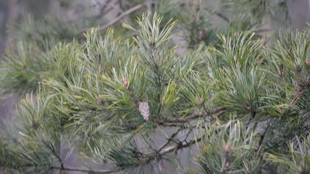 fırtına : Close - up of pine tree branches with cones and green needles, moving, developing from gusts of wind in the forest area. Hurricane, storm, bad weather concept. Slowmotion Stok Video