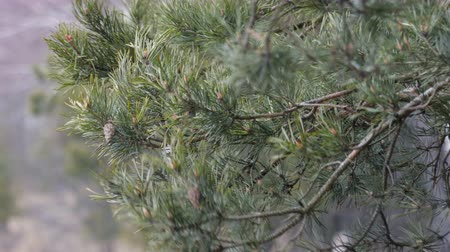 fırtına : Close - up of pine tree branches with cones and green needles, moving, developing from gusts of wind in the forest area. Hurricane, storm, bad weather concept Stok Video