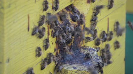 ネクター : Many honey bees swarming near the hive in the spring. 4K resolution