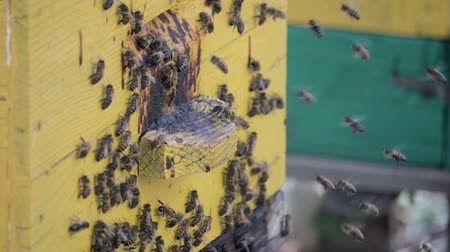 coletando : Many honey bees swarming near the hive in spring. HD