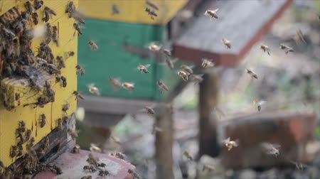 улей : Slow movement of many honey bees swarming near the hive in spring. HD