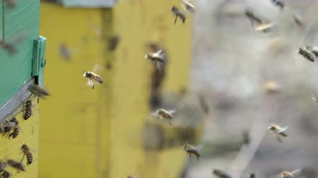 coletando : Many honey bees swarming near the hive in the spring. 4K resolution