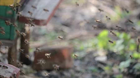 polinização : Slow motion of many honey bees swarming near the hive in spring. HD Vídeos