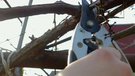 makas : POV shot of the garden shears in hand, the farmer cuts the dry branches of the vines or trees in the orchard. 4k