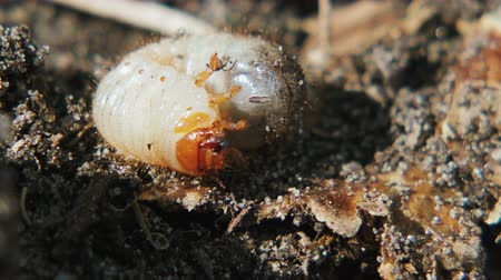 lehet : Macro shot of a nasty white may bug larva with brown head and paws slowly moving in the dark humus of organic manure Stock mozgókép